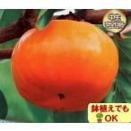 果樹 苗木 次郎柿 完全 甘 1年生以上苗 かき 4.5号 直径13.5cm ポット 落葉樹