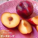 果樹苗 プラム 苗木 サンタローザ 1年生 接ぎ木 4.5号(13.5cm) ポット苗 果樹苗木 落葉樹 すもも スモモ 苗