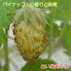 パイナップルの様な香りと味覚のイチゴ(いちご) トロピカルアロマ ポット苗1個  四季なり 白実イチゴ ワイルドストロベリー 小粒