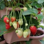 ハルディンの四季なり イチゴ いちご  デリーズ 1株