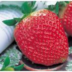 でっかい実ができる  ジャンボ イチゴ ( いちご ) アイベリー 直径10.5cmポット苗1個
