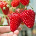 イチゴ 果実 苗 おおきみ いちご 苺 ポット 1個 宿根草 四季なり 家庭菜園