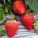 イチゴ 果実 苗 いちご さちのか 苺 直径9cmポット 家庭菜園 プランター