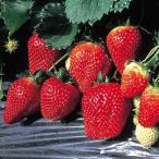 イチゴ ( いちご )  とちおとめ 直径10.5cmポット苗1個