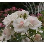 バラ大苗アスピリン ローズ (国産苗 大苗 6号鉢植え)タンタウ作出ADR受賞品種