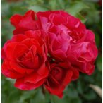 バラの大苗スーリール ドゥ モナリザ (国産苗 大苗 6号鉢植え)メイアン作出ADR受賞品種
