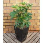 植物のある暮らし ホンコンカポック 一緒にお部屋にいさせてね〜 一つは欲しい管理の簡単な観葉植物です 7号角鉢 送料無料・他品同梱可