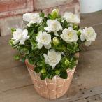 くちなし 薫るバラ咲き 1株