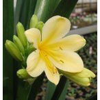 貴重 黄色 花芽付 君子蘭 クンシラン 5号鉢植え