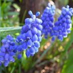ムスカリ アルメニアカム ブルー  1ポット苗 5球植え