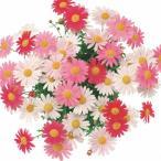 マーガレット 花 ストロベリーホイップ 色変わりマルチカラー 1株 花苗 宿根草 栄養系 苗 花の苗