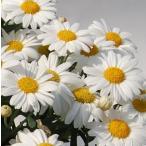 四季咲きマーガレット フォーシーズンズ ホワイト 1株 宿根草 栄養系