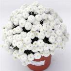 マーガレット 花  サマーソング ホワイト 1株 宿根草 栄養系