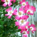 ミニバラ安曇野 5号鉢 クライミングローズ 庭植え 地植え イングリッシュガーデン