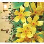芳香高い一重咲木香バラ(モッコウバラ)黄色12cmポット長尺物(全高約60cm)