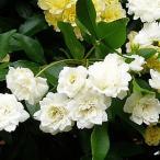 白い 木香バラ シロモッコウバラ ポット苗