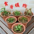 食虫植物 ハエトリソウ サラセニア モウセンゴケなど6種類から選べる 4号鉢(水苔処理)耐寒性 多年草