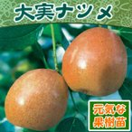 果樹苗 大実ナツメ2年物 6号(直径18cm)鉢 1株