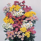 切り花にも最適 耐寒性宿根草 夏菊 4色から選んでください 1株