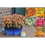 耐寒性・宿根ネメシア エンジェルアートシリーズ 1株 5色から選べます パンジーやビオラとの寄せ植えにはピッタリ!