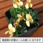 宿根草 ニオイスミレ 一重咲き イエロー(オレンジ)1株