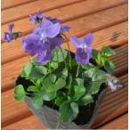 ニオイスミレ 一重咲き 紫 1株
