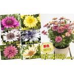 ダブル咲で豪華、しかもちょっと変わった花色も特徴の新しいオステオスペルマム ダブルファンシリーズ 6種から選べます 1株9cmポット苗