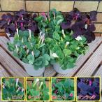 宿根草 オキザリス 選べる4色 4号鉢  季節の鉢花