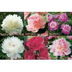 ☆選べる5種の 香り良い芍薬 コレクション 12cmロングポット苗