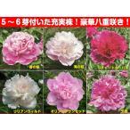 宿根草 高級八重咲き芍薬 ( シャクヤク )芽付6号(直径18cm)大苗