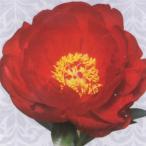 芍薬 花 苗 レッドレッドローズ シャクヤク しゃくやく ピオニー 八重咲コレクション 多年草 4号 直径12cm ロングポット植え