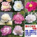 宿根草 芍薬 ( シャクヤク )変わり咲き特選品種 芽付12cmポット苗