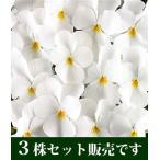 ビオラ フローラルパワー ピュアホワイト 10.5cmサイズ大ポット 3ポットセット パンジー ビオラ すみれ 苗 寄せ植え