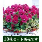 ビオラ ビビ ライトローズウイズブロッチ 10.5cmサイズ大ポット 10個セット パンジー ビオラ すみれ 苗 寄せ植え