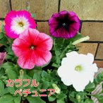 ペチュニア バカラ 4色から選べます 寄せ植え 季節の花苗 イングリッシュガーデンに