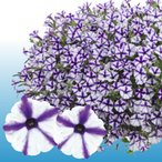ペチュニア 花 苗 スーパーチュニア ミニ ブルースター 1株 寄せ植え 季節のイングリッシュガーデンに ハンギング