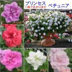 ペチュニア プリンセス八重咲きダブル 5色から選べます ・栄養系宿根草 小中輪タイプ