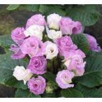 プリムラ ジュリアン・ブルーベリーのムース バラ咲き 1株 冬咲き 鉢植え 庭植えガーデニング 寄せ植え等に