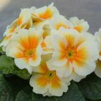 Yahoo!イングの森 お花 苗 ギフトプリムラ 春らんらん バタークリーム 縁を彩る2色咲き 1株 冬咲き 苗 鉢植え 庭植えガーデニング 寄せ植え等に 花の苗