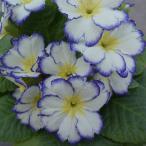 Yahoo!ギフトとガーデニングのお店プリムラ 春らんらん ブルーストライプ 縁を彩る2色咲き 1株  冬咲き 苗 鉢植え 庭植えガーデニング 寄せ植え等に 花の苗