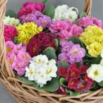 プリムラ 花 苗 冬 アコーリス ペチコート 八重咲き大輪・選べる6色 1株 寄せ植え ガーデニング