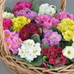 八重咲き大輪 宿根プリムラ アコーリス ペチコート 6色セット 6色各1株計6株