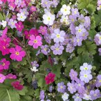 Yahoo!産直でお花をお届け・イングの森プリムラ シネンシスミックス 開花前お買い得3株セット 耐寒性 花苗 多年草 寄せ植え 鉢花 イングリッシュガーデン