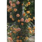 バラ苗 春の新苗(N) ツル サハラ 12cm ロングポット