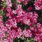 シバザクラ(芝桜) 宿根草   赤系花(スカーレット系)  1株  グランドカバーに