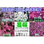 1ポットあたり100円 宿根草 芝桜 ( シバザクラ ) 5色各2個(計10個)セット