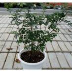 半常緑高木 シマトネリコ  5号スリット鉢植え