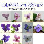 ニオイスミレ(においすみれ)  一重咲き コレクション 1株  香り フレグランス ガーデニング 花苗 寄せ植えに