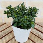 つつじ 花 苗木 鉢植え クルメツツジ コレクション 1株 4号ポット苗 観葉植物 おすすめ 室内