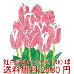 短期間で咲かせるチューリップ  紅白2色咲きタイプだけをまとめて100球  1箱に紅白2色タイプを100球、*送料無料・他品同梱OK